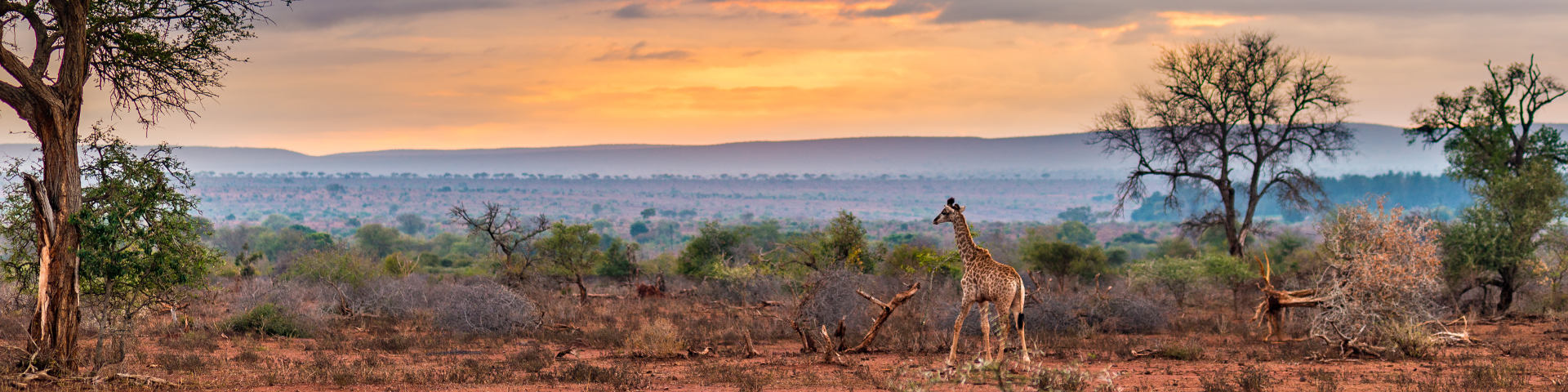 Giraffe in Kruger National Park in Zuid Afrika