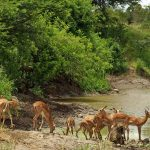Apen en Impalas Krugerpark