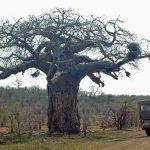 Boabab Krugerpark