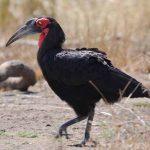 Bromvogel Krugerpark