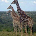Giraffes in het Krugerpark