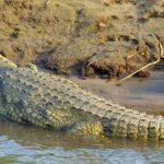 Krokodil Krugerpark