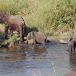 Olifanten Familie Krugerpark