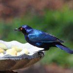 Blauwe vogel in de tuin
