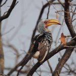 Yellow Hornbill Krugerpark